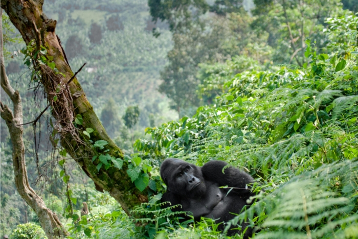 Data collection on Mountain gorillas